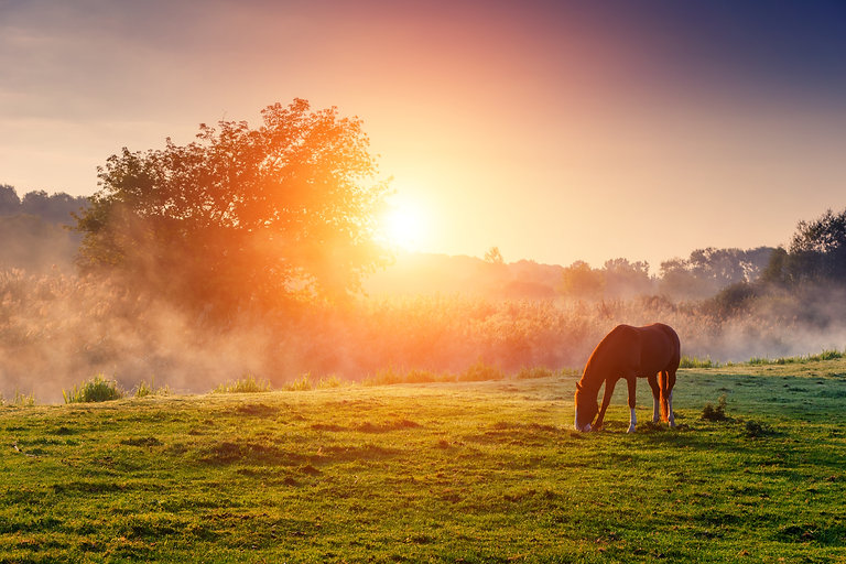 Arabian horses grazing on pasture at sun