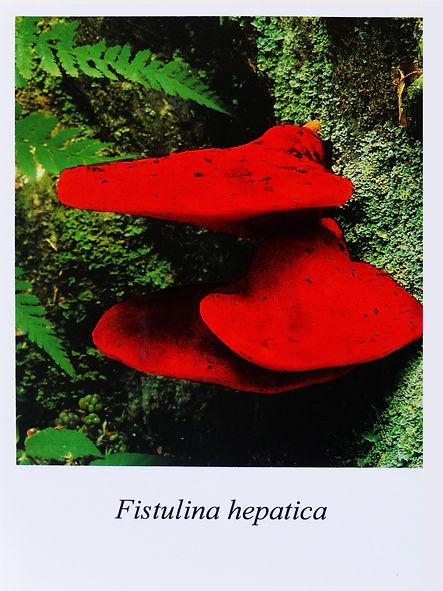 Samuel Arthur, artiste, Mushrooms (dangereux inoffensifs), Fistulina hepatica