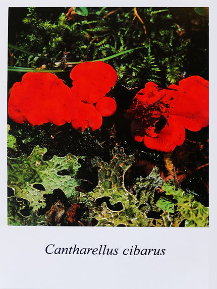Samuel Arthur, artiste, Mushrooms (dangereux inoffensifs), Cantharellus cibarus