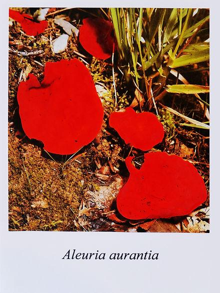 Samuel Arthur, artiste, Mushrooms (dangereux inoffensifs), Aleuria aurantia