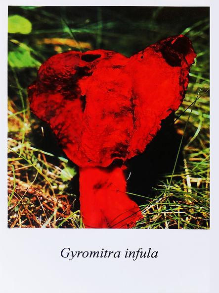Samuel Arthur, artiste, Mushrooms (dangereux inoffensifs), Gyromitra infula