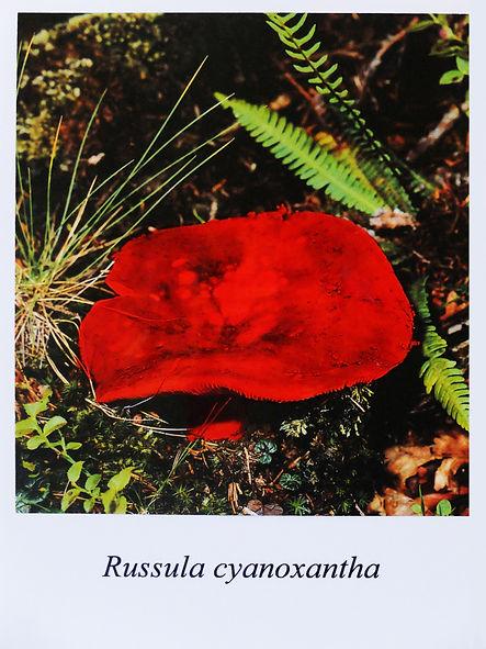 Samuel Arthur, artiste, Mushrooms (dangereux inoffensifs), Russula cyanoxantha
