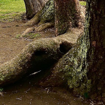The Trunks of Trees
