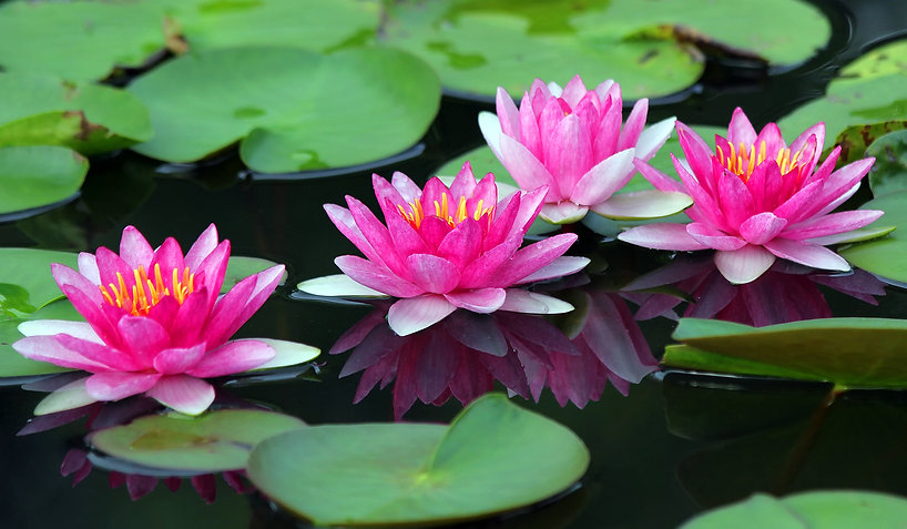 bigstock-Beautiful-Lotus-Flower-61382018-1.jpg