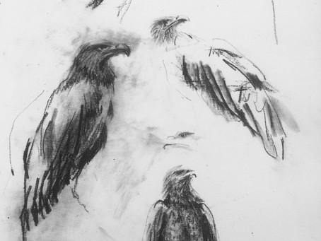 Halieatus albicilla - White-tailed Sea Eagle