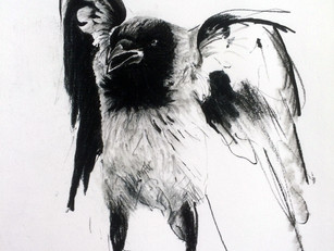 hooded crow study