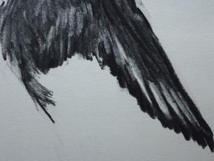 Fair Isle studies: wing of an Oystercatcher