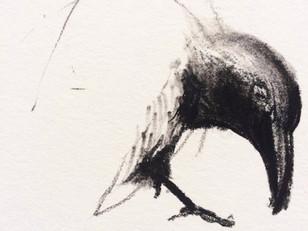 hooded crow study
