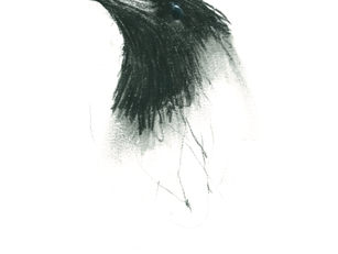 hooded crow - study