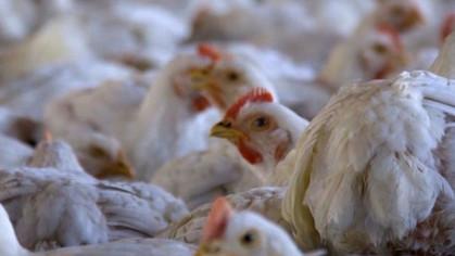 Brasil transporta 6 bilhões de animais sem regulamentação de bem-estar