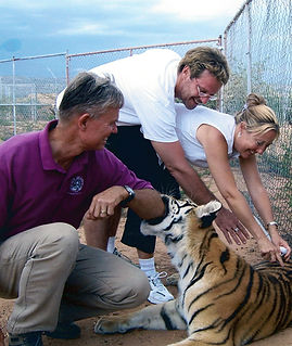 Adjusting a tiger at Out of Africa