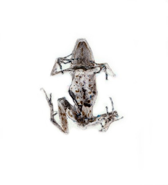 frogback