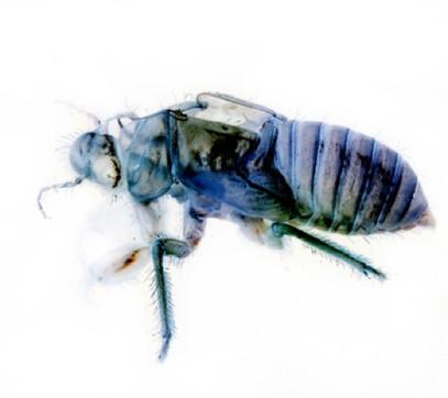 Scantype bee