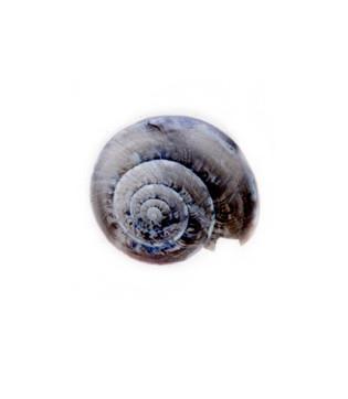 Land Snail Shell