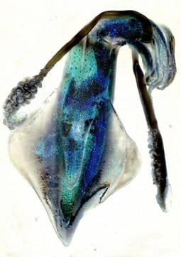 squid 3 scantype