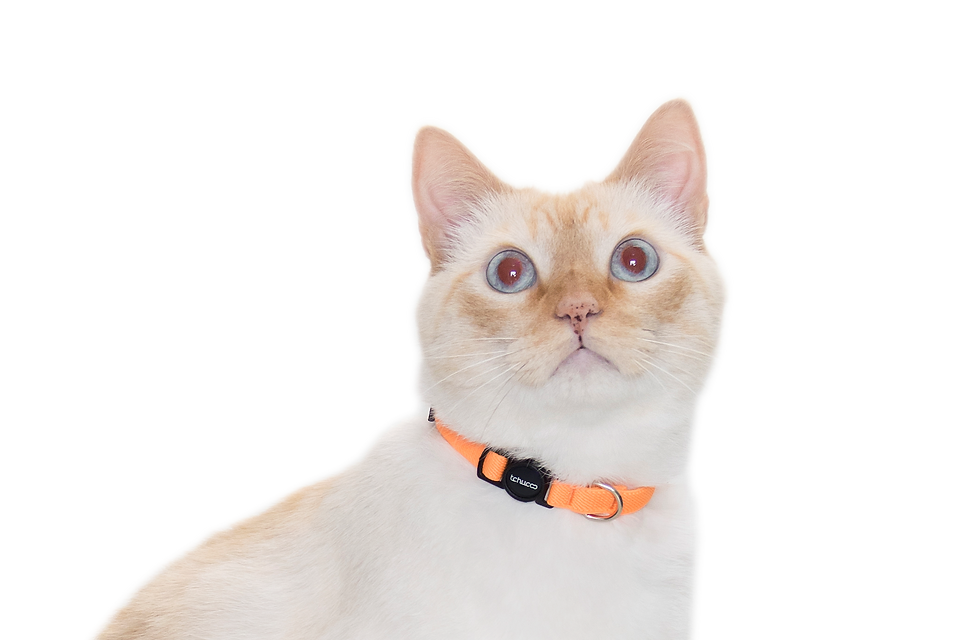 CLOSE UP COLEIRA CAT LARANJA.png