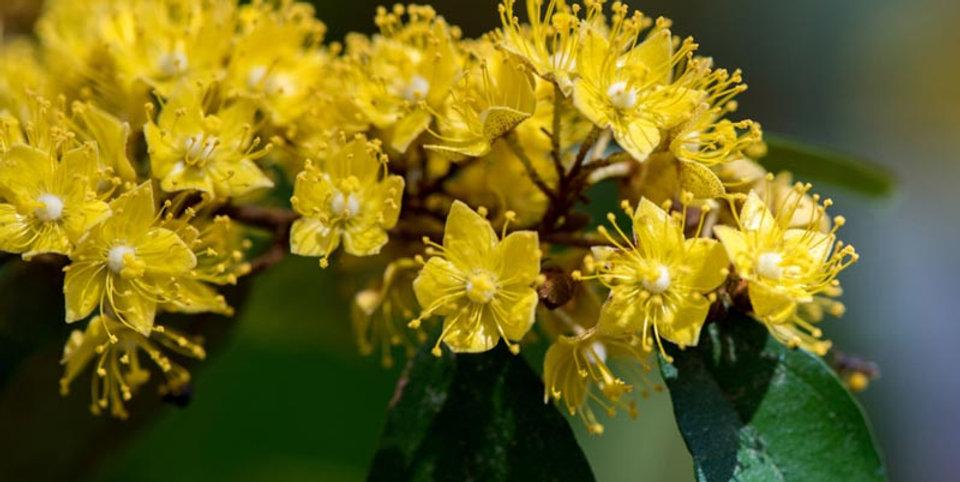 ต้นรวงผึ้ง.jpg