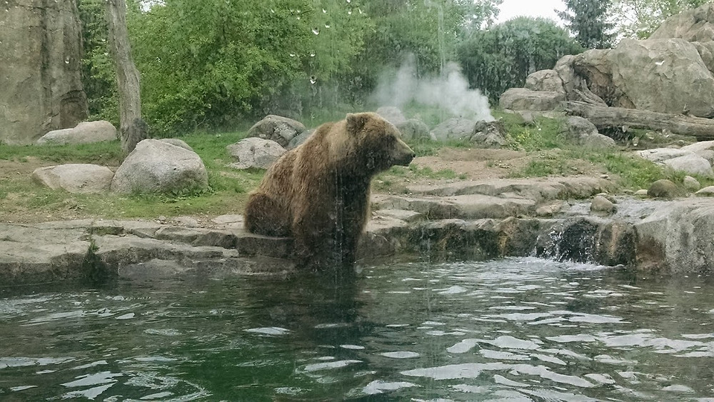 These bears shit in the water, not the woods.