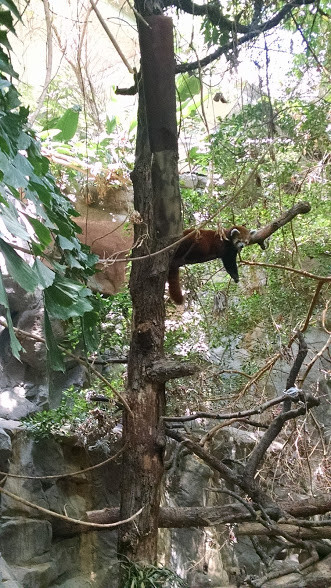 Lounging red panda.