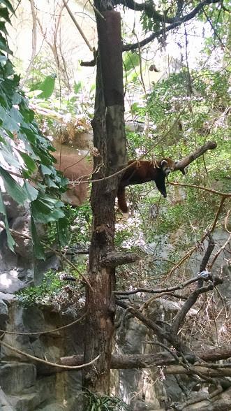 Lounging red panda.