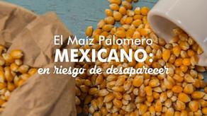 Maiz palomero mexicano en riesgo de desaparecer