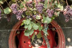 Weintrauben vor Traktorreifen