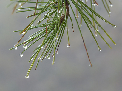 water droplets on needles