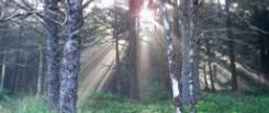 Light streaming through spruce and hemlock trees in the Arch Cape Forest