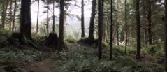 Trees and folage in the Arch Cape Forest