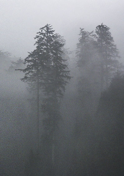 Fog surrounding mature trees
