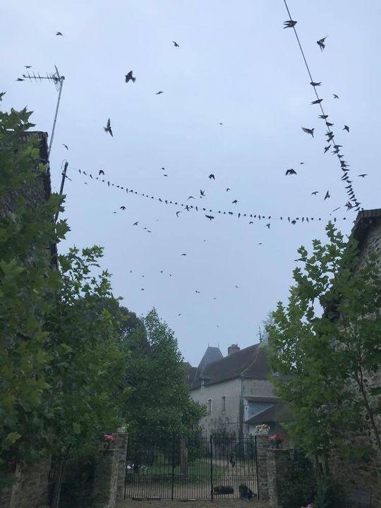 honderden zwaluwen op la Faye