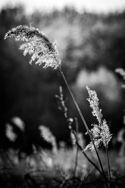 Long grass in monochrome