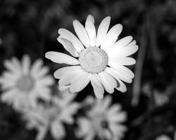 Monochrome Daisy - english garden