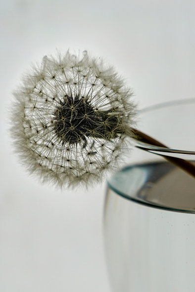Dandelion Clock in a glass Photograph Download