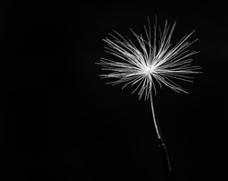 dandelion clock - monochrome That Foto