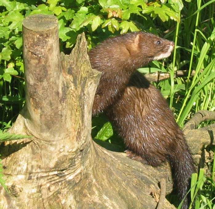 brown mink sitting on stump