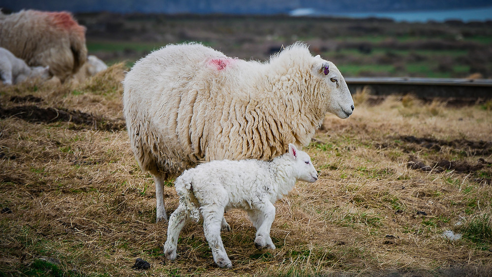 A mother sheep with her young lamb rubbing their head against her body. The mother is marked with a spot of red spraypaint. Other similarly marked sheep and lambs are in the background.
