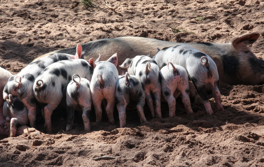 Black and white spotted mother pig with at least 8 spotted piglets nursing from her. She is outside and lying on some dust or mud.