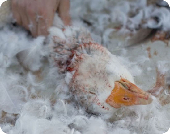 hand holding down a goose's bloody neck surrounded by plucked feathers