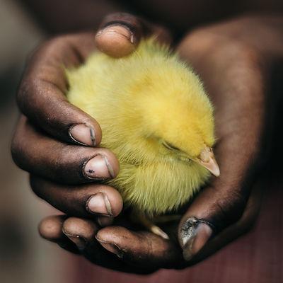 Chick in Hands-aamiraimer--2502350 .jpg