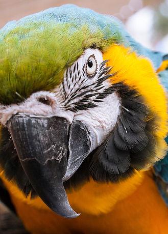 macaw-Blue-and-yellow-Engin-Akyurt.jpg