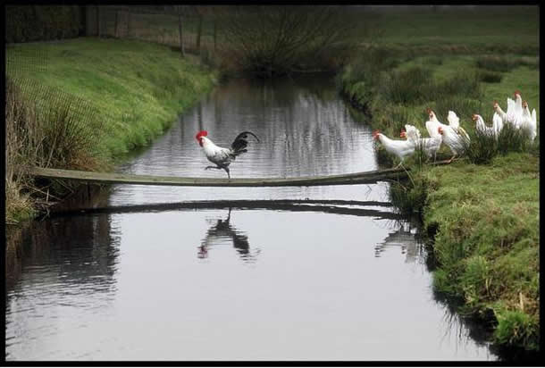 rooster leading line of hens across narrow bridge over river