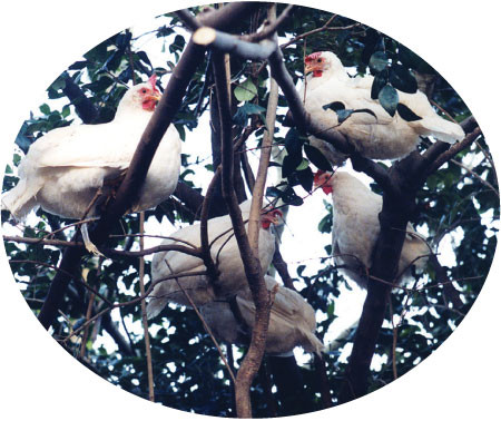five white chickens sitting up in the branches of a tree