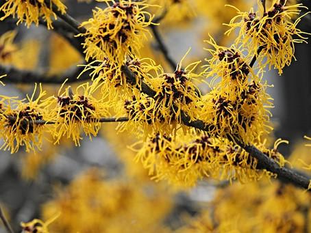 Heilpflanze Hamamelis