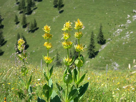 Heilpflanze: Enzian