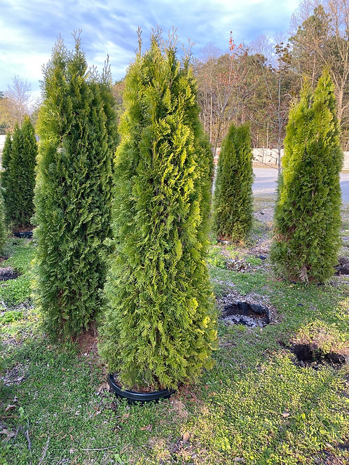 6-7ft Emerald Green Arborvitae