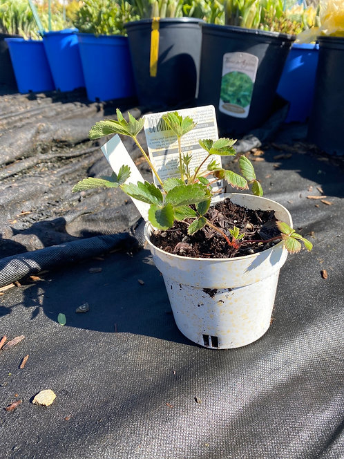 Everbearing Strawberry Plant (4in Pot)