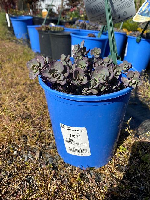 Blueberry Pie Groundcover Sedum