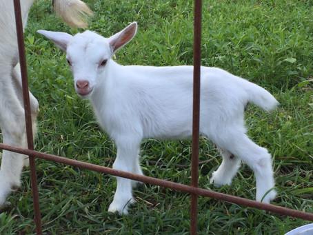 子ヤギ産まれました