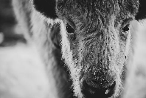 bison 2 large_1.jpg